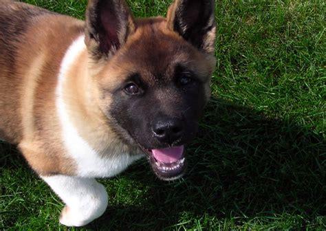 akita americano alimentazione akita americano carattere e informazioni sulla razza canina