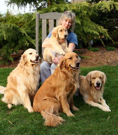 golden retriever nj goldstargoldens golden retriever puppies in nj