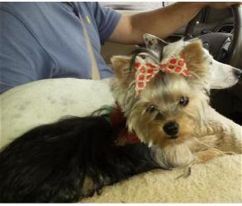 yorkie for sale in atlanta yorkie puppy for sale atlanta ga breeds picture