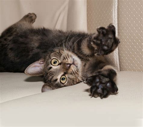 repairing cat scratches  leather furniture thriftyfun