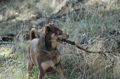 rattlesnake vaccine for dogs does your need a rattlesnake vaccine pawsitively pets