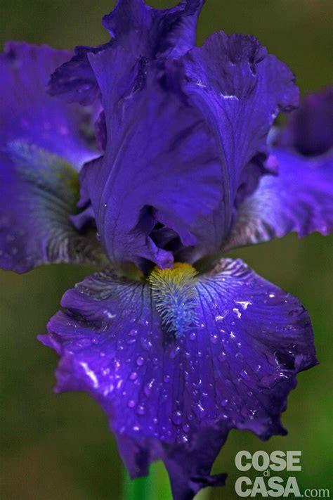 giaggioli fiori iris germanica iris giaggiolo cose di casa