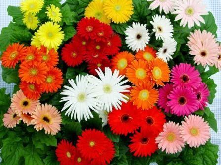 Pupuk Untuk Bunga Supaya Subur cara budidaya bunga aster dalam pot dengan mudah cepat