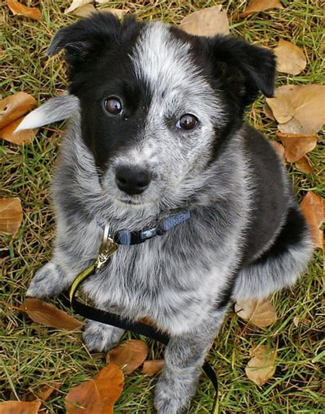 blue heeler border collie mix puppies border collie x blue heeler mix such an amazing combo precious creatures with four