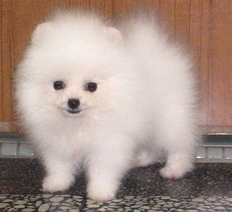 adopt a pomeranian for free sold white pomeranian puppy for sale for sale adoption from kuala lumpur adpost