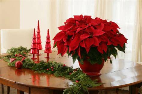 Weihnachtsstern Pflegen Wohnung by Weihnachtsstern Pflegen Pflanzen Richtig 252 Berwintern