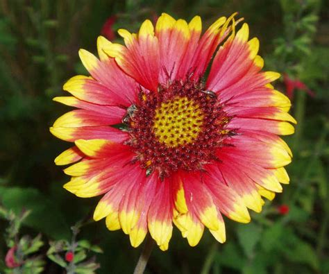 gaillardia aristata blanket flower common or perennial gaillardia seeds plants