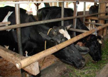 Pupuk Kotoran Sapi Tanpa Olahan pengolahan kotoran sapi sebagai pupuk organik