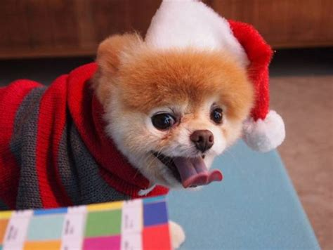 boo the cutest in the world boo the cutest in the world on cutest dogs pomeranian dogs and