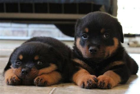 german rottweiler breeders 25 best ideas about rottweiler puppies on baby rottweiler rottweiler