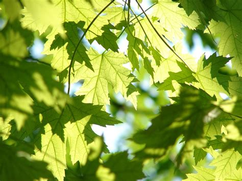 free photo leaves summer green maple free image on