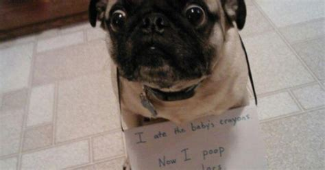 pug yelling at owner the is a fit for this pug shaming pugs animal