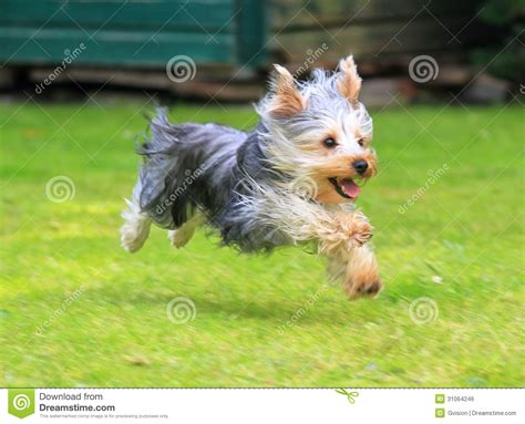 yorkie running 1000 images about bailey on theater yorkie and wallpaper