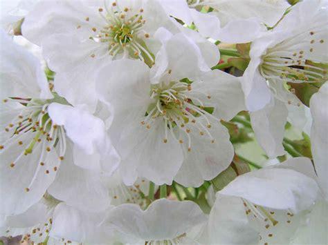 nome fiori bianchi fiori bianchi nomi idea concetto di interior design