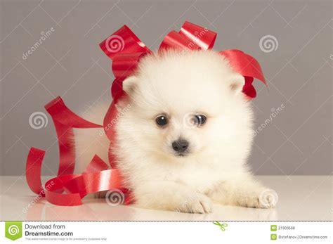 puppy present pomeranian puppy present royalty free stock photos image 21903568