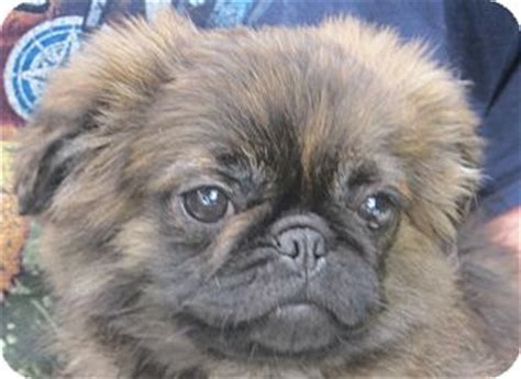 pa pug rescue adopted puppy lm allentown pa pug pekingese mix