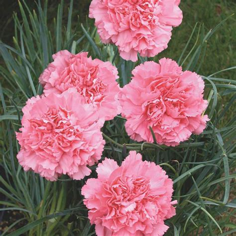 Usda Home Search by Carnation Dianthus Caryophyllus My Garden Life