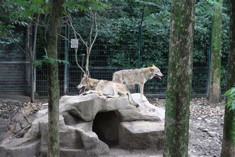 wolf enclosure enclosures wolf dogs animals