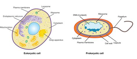 human cell diagram human cheek cell diagram www pixshark images
