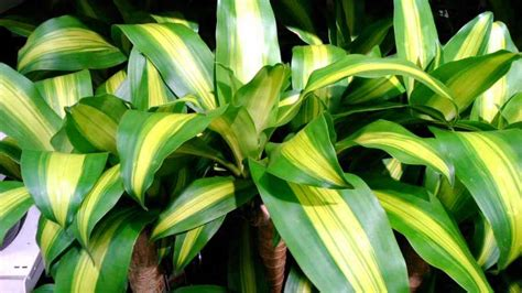 Tanaman Zamia Plant Zz Plant indoor plants lou s flower world