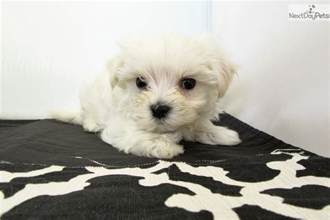 maltese puppies for sale near me maltese puppy for sale near orange county california 8bc5a215 5fd1
