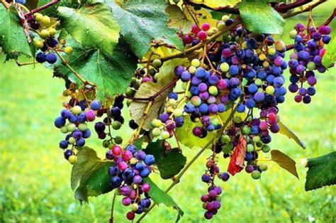 Bibit Anggur Pelangi alam mengembang jadi guru anggur pelangi