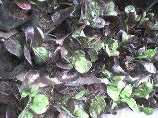 Bibit Tanaman Puring Oscar tanaman hias aneka bibit puring sansevieria sansivera