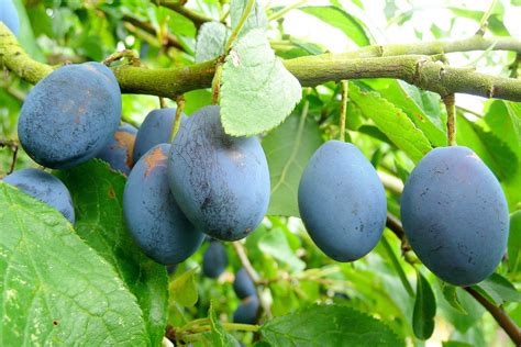 u fruity file damson plum fruit jpg wikimedia commons