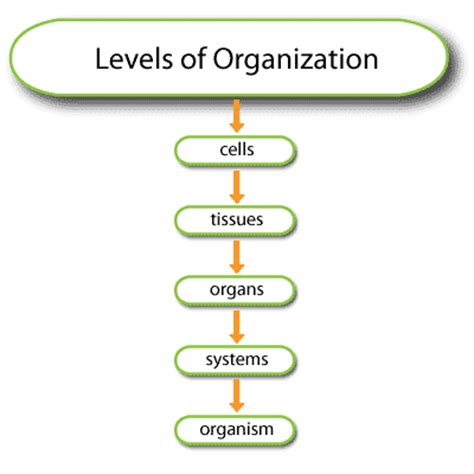 levels of organization diagram physiologyproject cells to systems