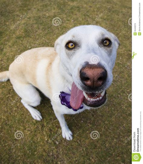 dogs ears back up of with ears back stock photo image 55443215