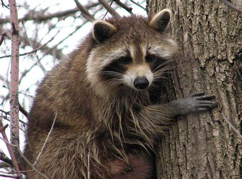 What To Do If A Raccoon Is In Your Backyard by Raccoon The Masked Bandit Cyensians