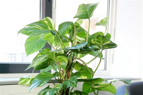 house plant types philodendron houseplant types how to grow care and