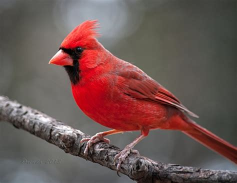 state bird of north carolina image gallery north carolina state bird
