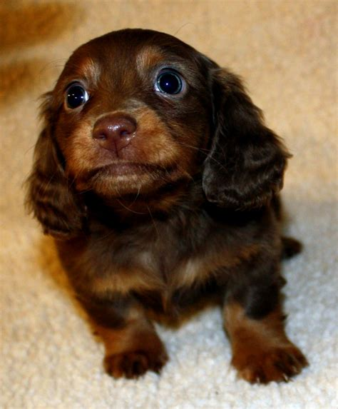dachshund puppies near me hair daschund puppies puppies puppy