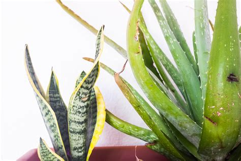 succulents that don t need light 100 succulents that don t need light how to repot