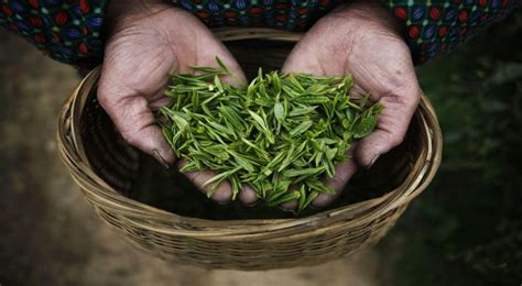 Teh Ekspor ekspor teh didominasi pucuk bukan produk olahan okezone