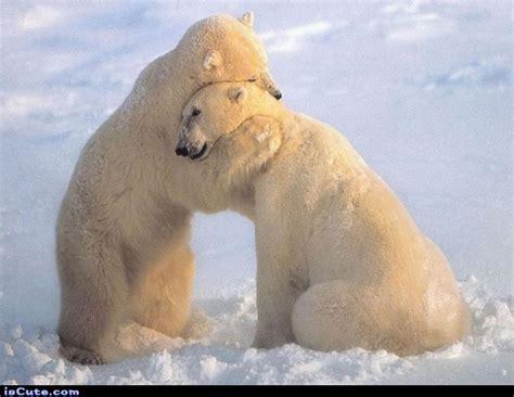 two polar bears in a bathtub polar bear hugs iscute com