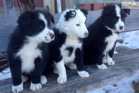 border collie puppies near me border collie puppy for sale near rochester new york d2daab7a 24b1