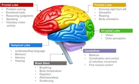 brain section functions science images parts of brain and its functions wallpaper