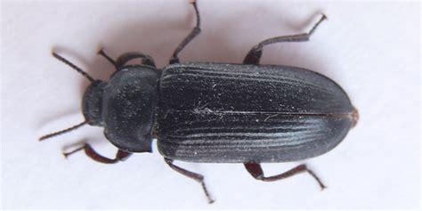 grote zwarte vliegen in huis zwarte kevers of meeltorren in huis bestrijden