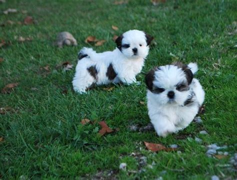 shih tzu buy 44 best images about shih tzu on shih tzus shih tzu puppy and animals and