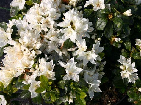 Blumen Und Pflanzen 2406 by Japanische Azalee Kermesina Alba Rhododendron Obtusum