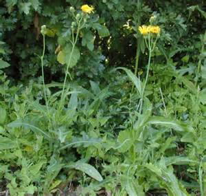 E Home America by Sonchus Arvensis Perennial Sow Thistle Discover Life