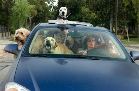 dogs in cars poll pets are another distraction while driving 187 autoguide news