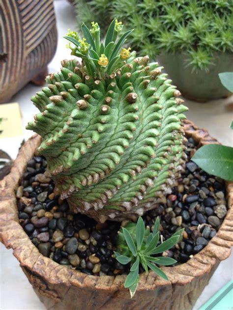 cactus planter euphorbia obesa x bupleurifolia succulent euphobia