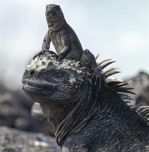 film berburu ular video bayi iguana dikejar sekumpulan ular ini viral karena
