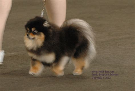 do pomeranian puppies shed pomeranians