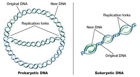 each human chromosome is replicated in about sections biology diva chapter 9