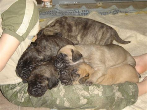 mastiff puppies for sale in michigan mastiff puppies for adoption reanimators