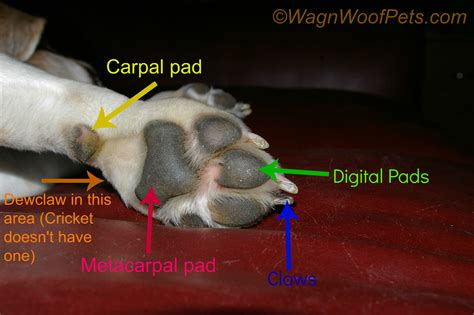 paw anatomy front paw anatomy breeds picture